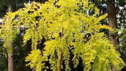 Plant Profile - Robinia