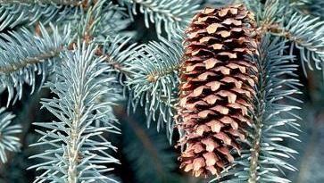 Plant Profile - Picea