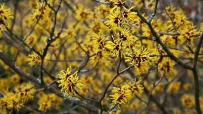 Plant Profile - Hamamelis
