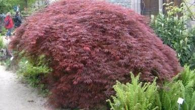 Plant Profile - Acer/ Japanese Maple: